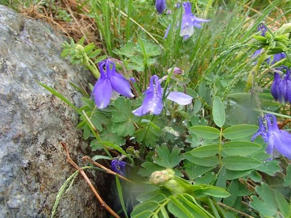 高山植物1.JPG